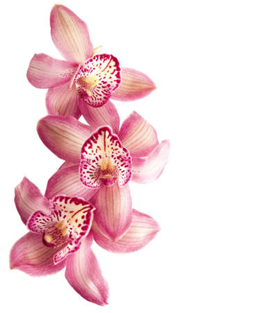 white orchid: pink orchid  isolated on  white