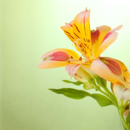 Alstroemeria on ligth green  background photo