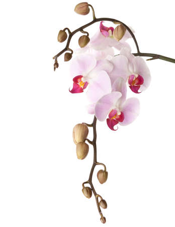 orchid isolated on white photo