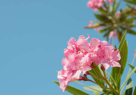 Pink flowers of oleander on blue  sky background  photo