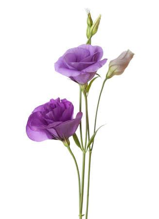 light purple flowers isolated on white. eustoma photo