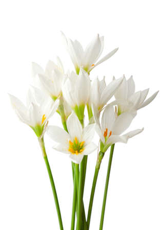 magic lily: Lilies isolated on a white background. White rain lily (zephyranthes candida) Stock Photo