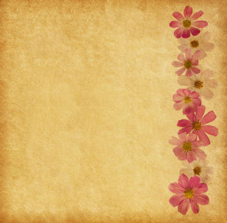 Beige background with pink flowers. Cosmea photo