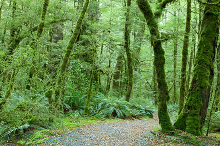 temperate: Temperate rain forest, Fiordland National Park, South Island, New Zealand.Track - Lake Gunn Nature Walk. Stock Photo