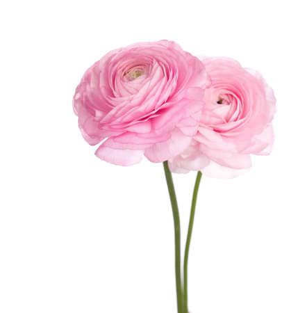 buttercup persian: Due leggeri fiori rosa ranuncolo persiano. (Ranunculus)
