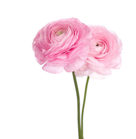 twain: Two light pink  persian buttercup flowers.  (Ranunculus )