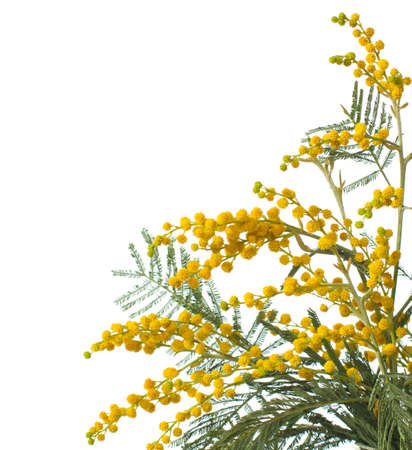 wattle: mimosa isolated on white  background .  very shallow depth of field Stock Photo
