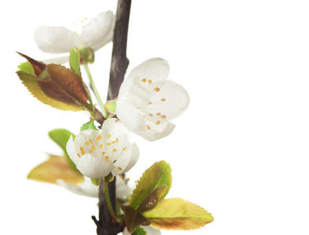 prunus cerasifera: Fragment   of  branch in blossom  isolated on white. Cherry