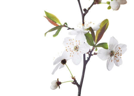 Fragment   of  branch in blossom  isolated on white. Cherry plum Stock Photo