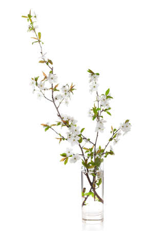 myrobalan: Flowering branches of cherry in a glass vase  isolated on white. Stock Photo