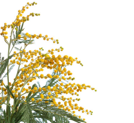 Branch of mimosa isolated on white  background .  very shallow depth of field photo