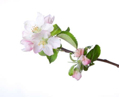白で隔離咲くりんごの小枝のクローズ アップ。近くの花に焦点を当てます。 写真素材