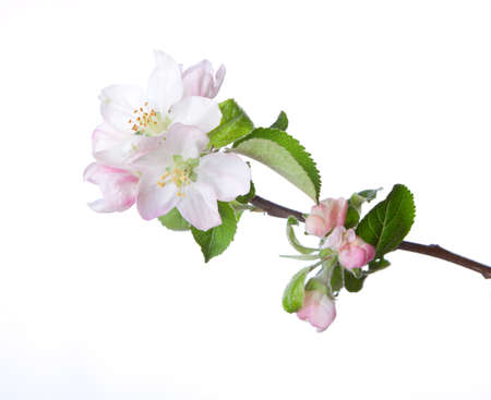 apple blossom: Closeup of blooming apple twig  isolated on white. Focus on near flower. Stock Photo