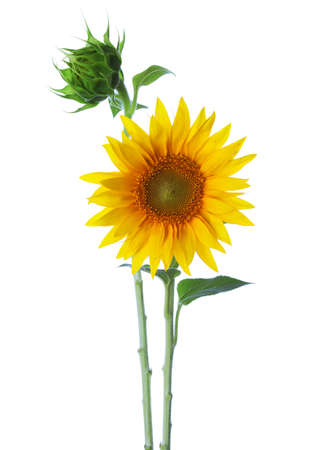 Sunflowers  isolated on a white background photo