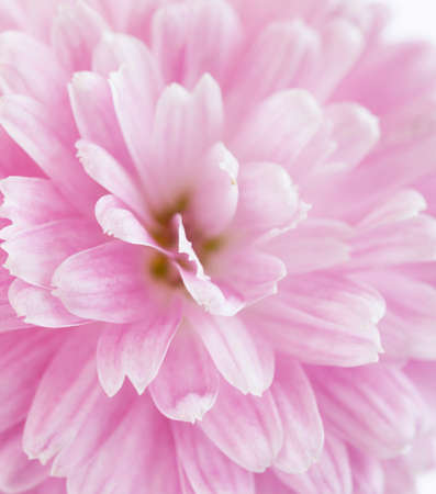 rose coloured: fragment of pink  Chrysanthemum flower. very shallow depth of field, selective focus