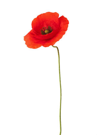 Red poppy isolated on white. Archivio Fotografico