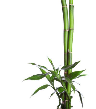 竹は、白い背景で隔離。ドラセナ ・ ブラウニー 写真素材