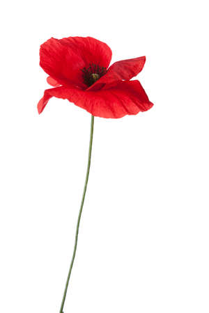 stamens: Red poppy isolated on white background. Stock Photo
