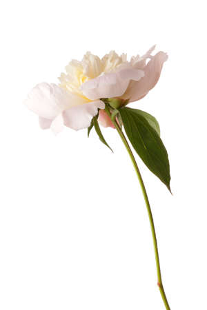 cut flowers: Pale pink peony isolated on white background.