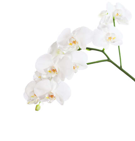 yellow orchid: White orchid isolated on white background.