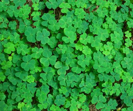 green background with three-leaved shamrocks. St.Patrick's day holiday symbol.