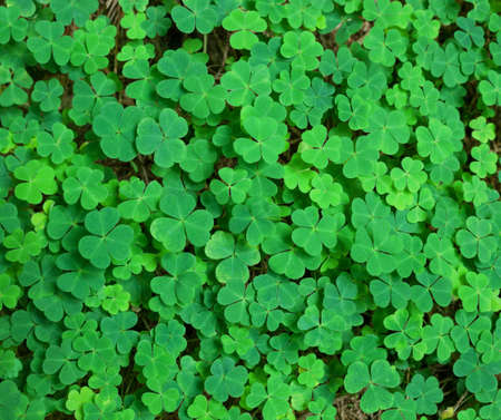 st patrick s day: green background with three-leaved shamrocks. St.Patricks day holiday symbol. Stock Photo