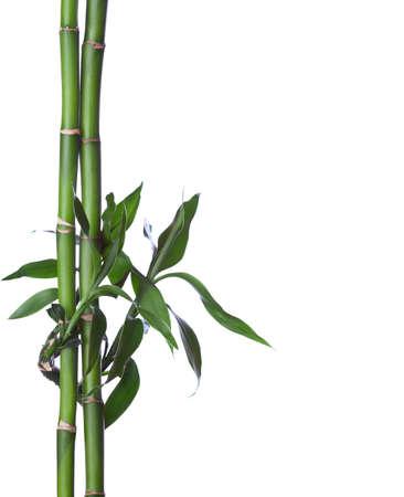 Bamboo isolated on white background. Dracaena braunii