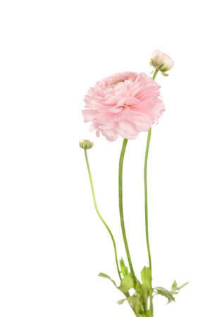 buttercup: Light pink Ranunculus isolated on white.