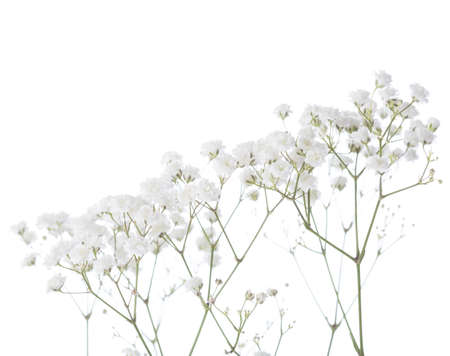 Gypsophila isolated on white background. Shallow depth of field. Selective focus Imagens - 39251142
