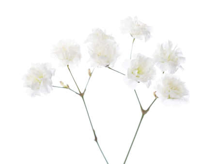 Gypsophila isolated on white background. Selective focus
