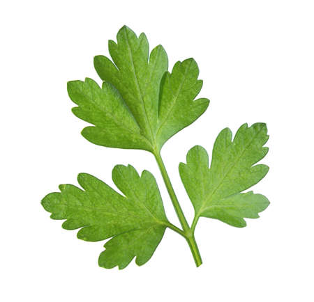 leaf vegetable: Close-up  leaf of  parsley isolated on a white background.