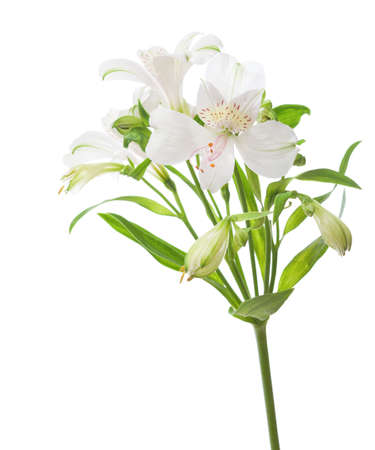 White Alstroemeria  isolated on white background.