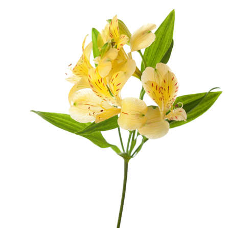colorful flowers: Yellow Alstroemeria  isolated on white background.