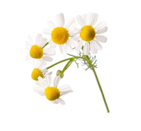 marguerite: Chamomiles isolé sur fond blanc. Banque d'images
