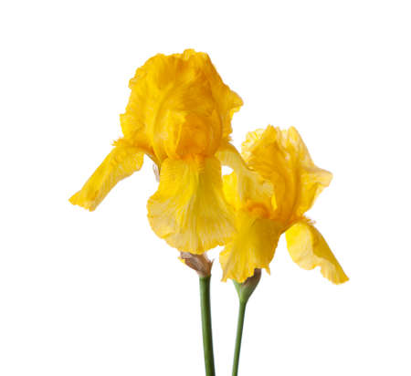 yeloow: Two yeloow flower isolated on a white background. Iris croatica