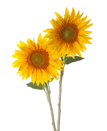 Two Sunflowers isolated on a white background. photo