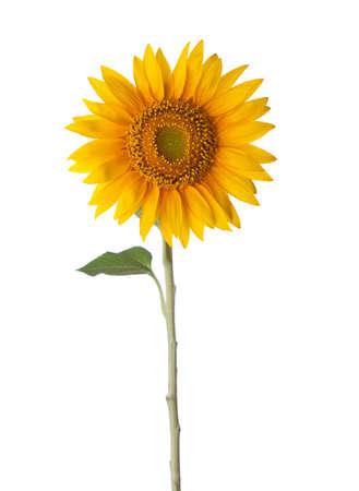semillas de girasol: Girasol aislados sobre un fondo blanco  Foto de archivo