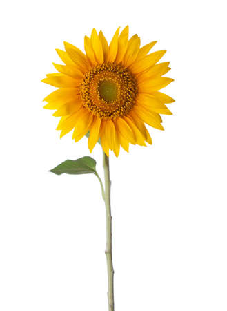 sunflower: Sunflower isolated on a white background