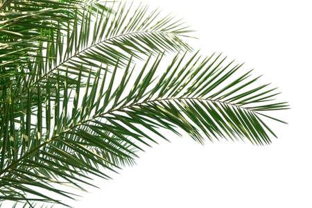 frondage: Isolated Palm Leaves on white background Stock Photo