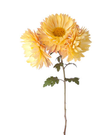 Yellow flowers isolated on white background. Chrysanthemum Archivio Fotografico