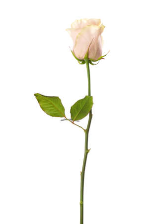 white rose: Pale pink  rose isolated on white background. Stock Photo
