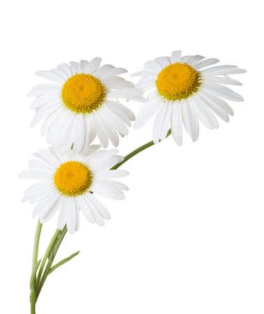 흰색 배경에 고립 된 세 Chamomiles