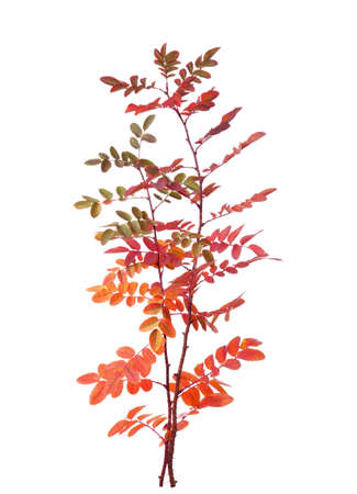 colorific: Two branches with colorful autumn leaves (Rose) isolated on white
