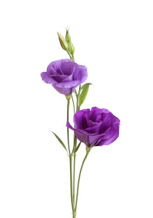 Light violet  flowers isolated on white. eustoma