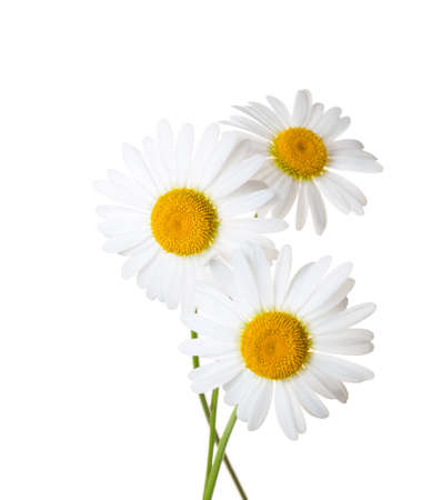 daisies: Three Chamomiles isolated on white background
