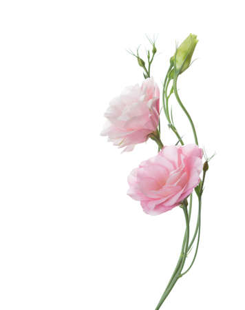 bunch of flowers: Two pale pink flowers isolated on white. Eustoma