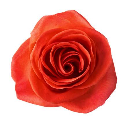 background colors: Orange rose isolated on white