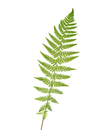 polypodiopsida: Young  leaf of fern  isolated on white