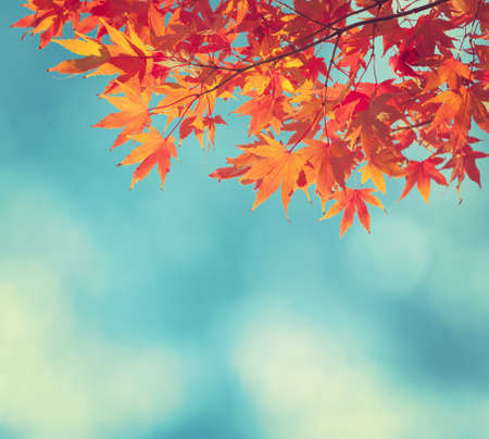 red maples: Colorful Autumn Leaves against blue sky