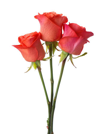rosas naranjas: Tres rosas de color naranja sobre fondo blanco.